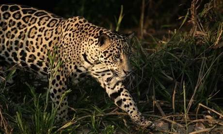 Spot a jaguar in the Pantanal